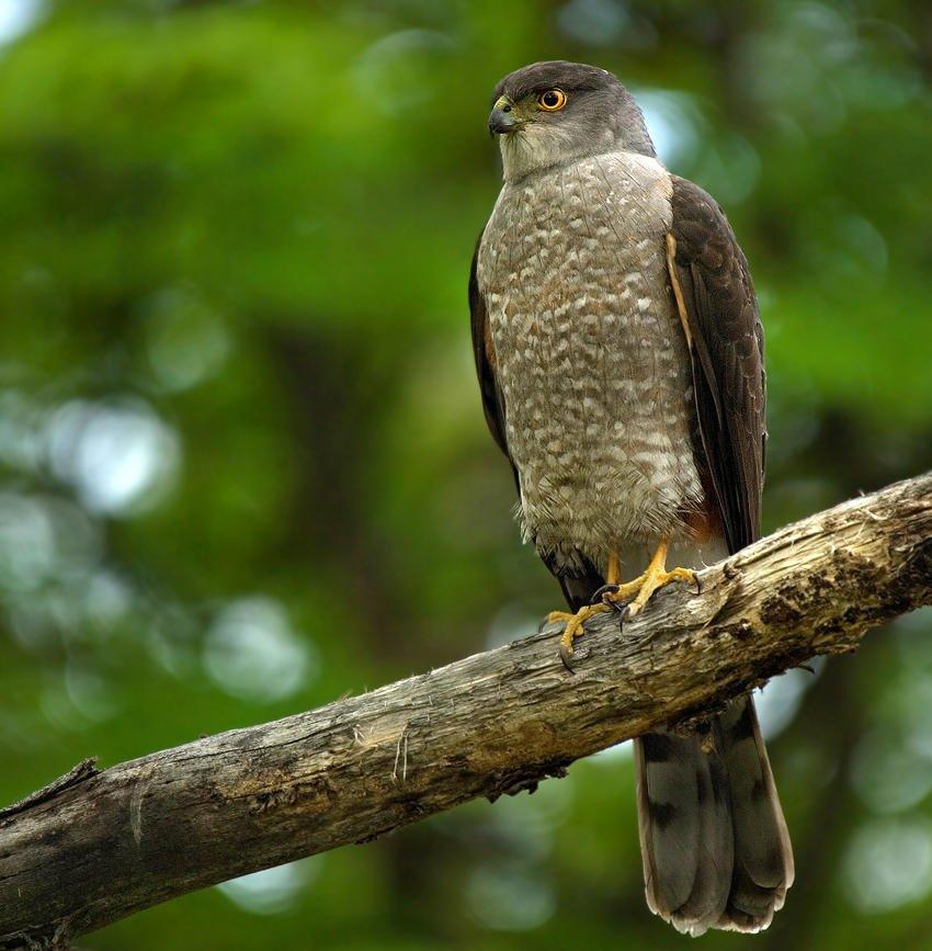 Gavilán bicolor (Bicoloured Hawk) (Salvador Solé Soriano)