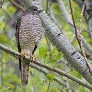 Gavilán griego (Levant Sparrowhawk)