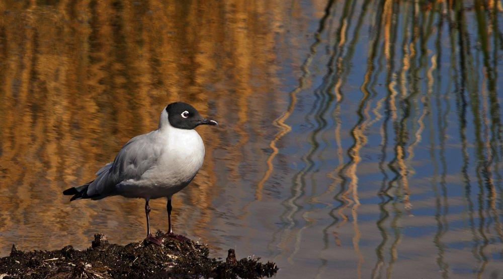Gaviota andina (Andean Gull) (Salvador Solé Soriano)