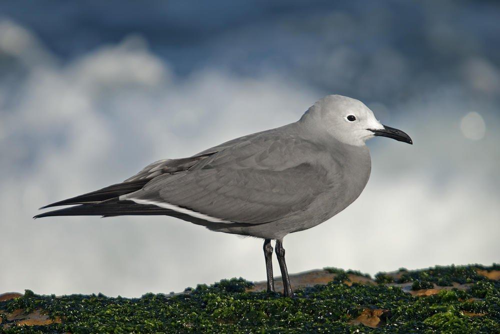Gaviota garuma (Grey Gull)  (Salvador Solé Soriano)