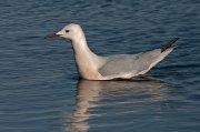 Gaviota picofina (II) (Slender-billed Gull)