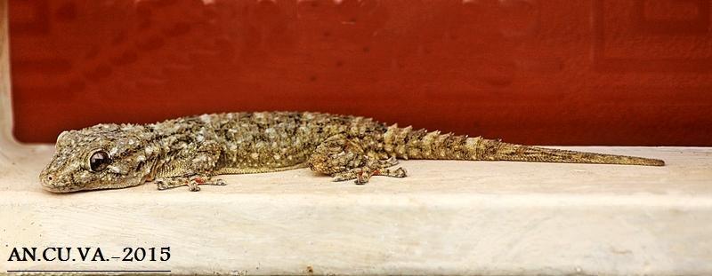 gekkonidae. (Antonio Cuenca.   vaya)