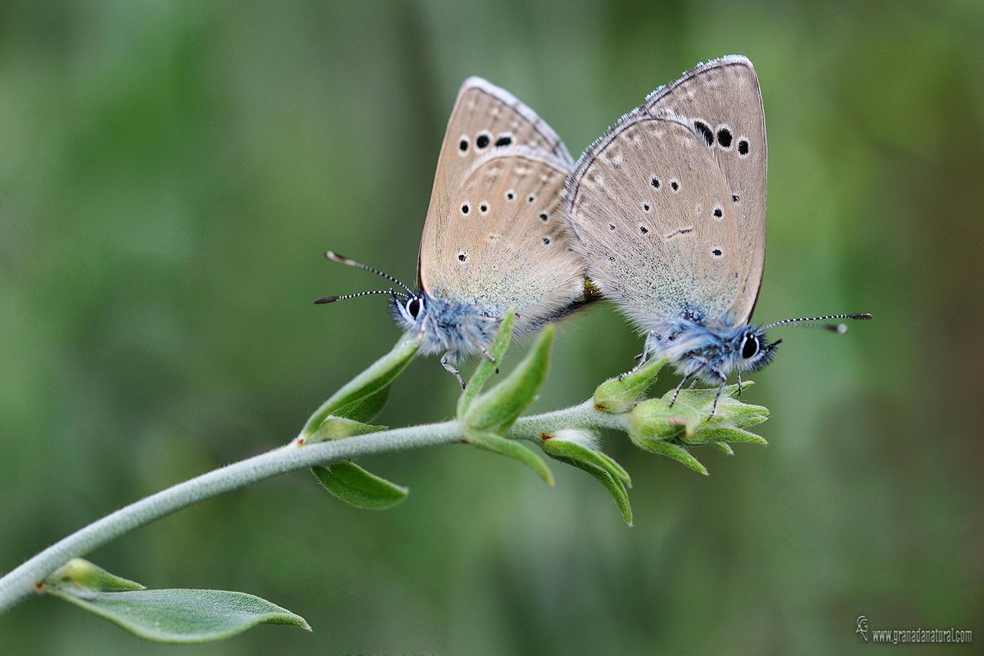 Glaucopsyche melanops  ( Escamas azules) (Lucas Gutierrez Jiménez)