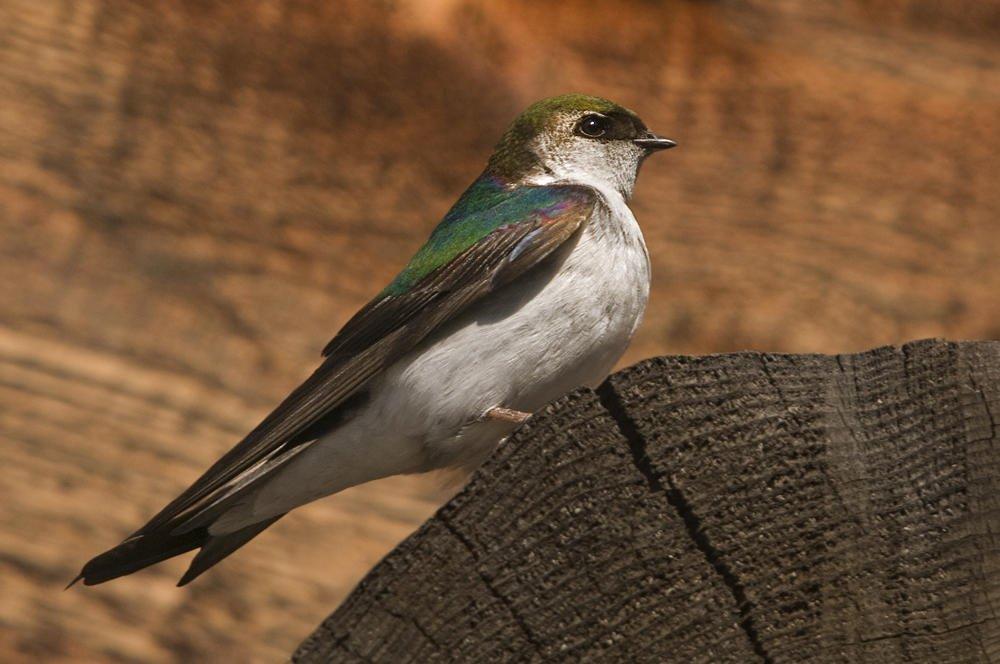 Golondrina verdemar (Violet-green Swallow) (Salvador Solé Soriano)