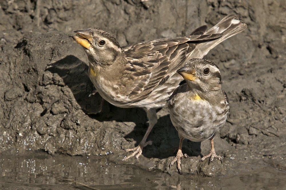 Gorrión chillón (Common Rock-sparrow) (Salvador Solé Soriano)