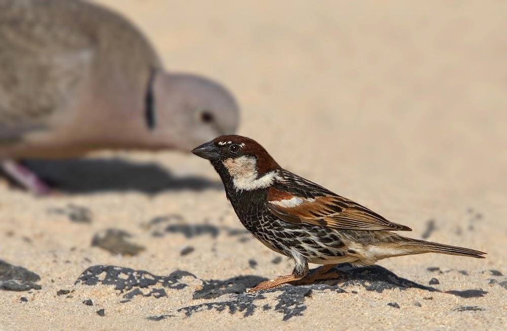 Gorrión moruno (Spanish Sparrow) (Salvador Solé Soriano)