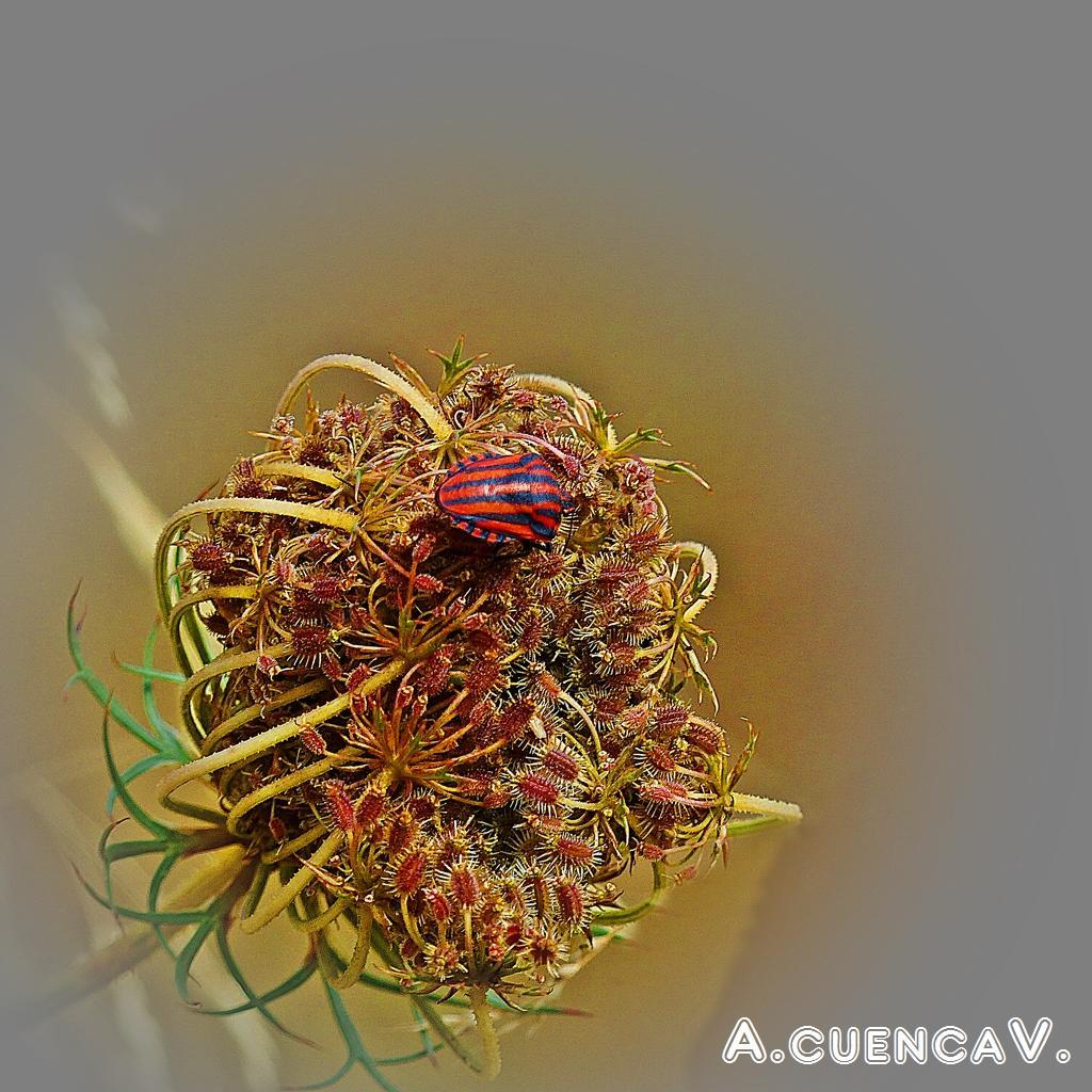 Graphosoma Lineatum. (Antonio Cuenca.   vaya)