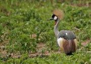 Grulla coronada cuelligrís (Grey Crowned Crane)