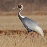 Grulla cuelliblanca (White-naped Crane)