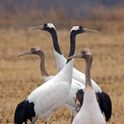Grulla manchú (Red-crowned Crane)