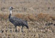 Grulla monje (Hoodeed Crane)