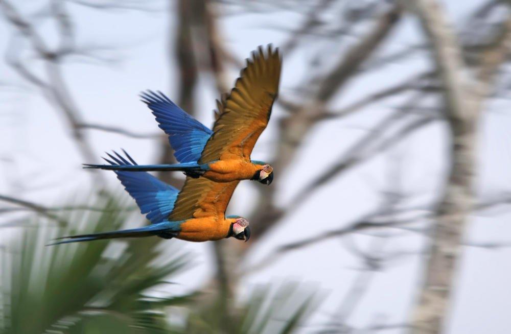 Guacamayo azulamarillo (Blue-and-yellow Macaw) (Salvador Solé Soriano)