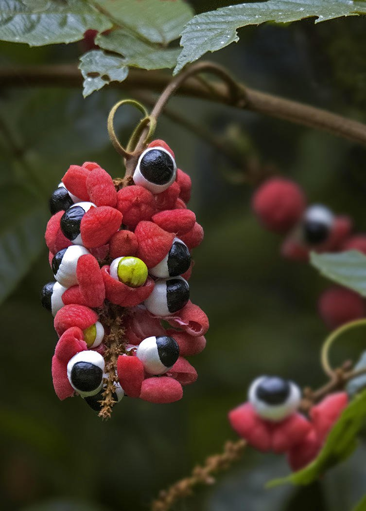 Guaraná; inquietantes frutos oftálmicos (Salvador Solé Soriano)