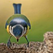 Herrerillo común (Common Blue Tit) II