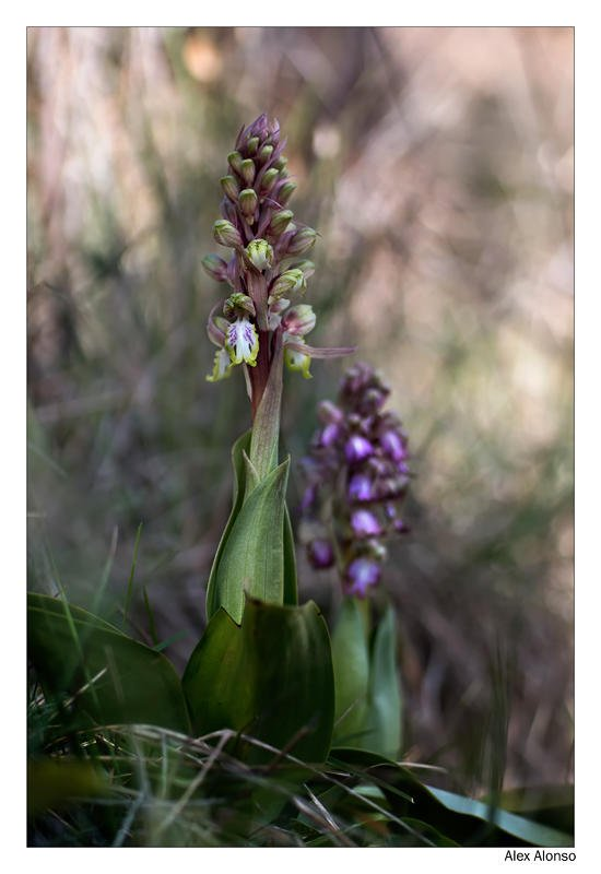Himantoglossum robertianum. (Alex Alonso)