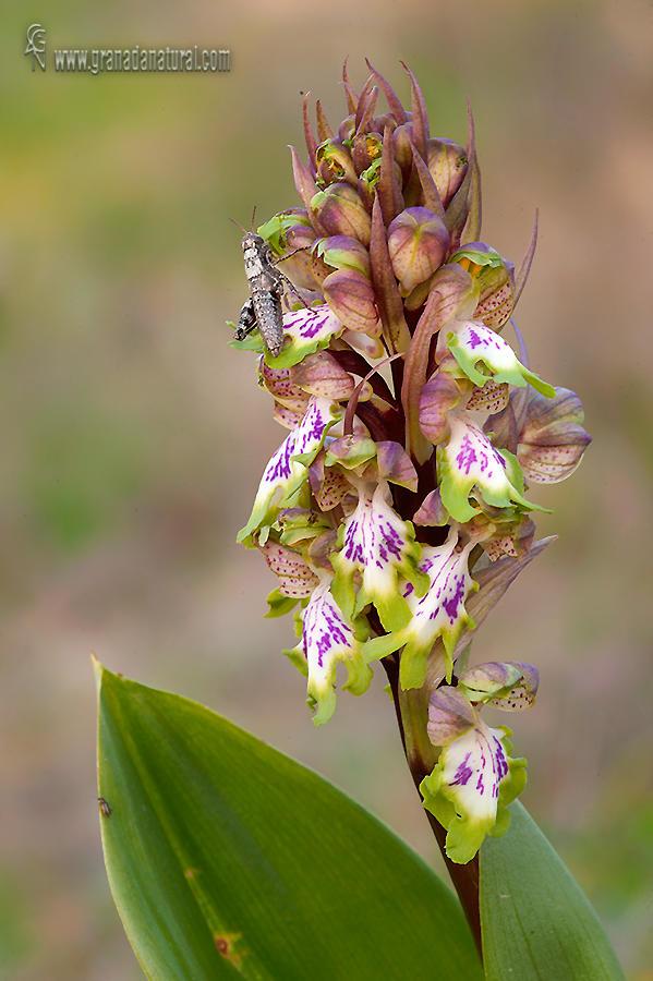 Hymantoglossum robertianum  (Lucas Gutierrez Jiménez)