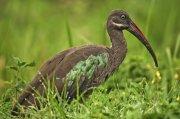Ibis hadada (Hadada Ibis)