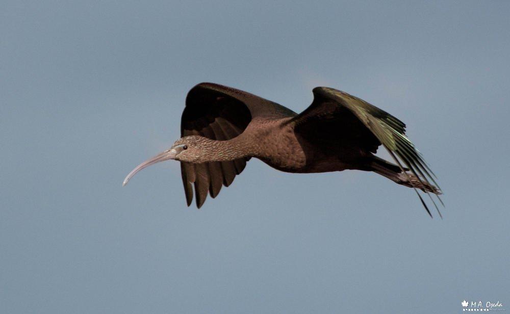 Ibis negro  (Miguel Ojeda Usillos)