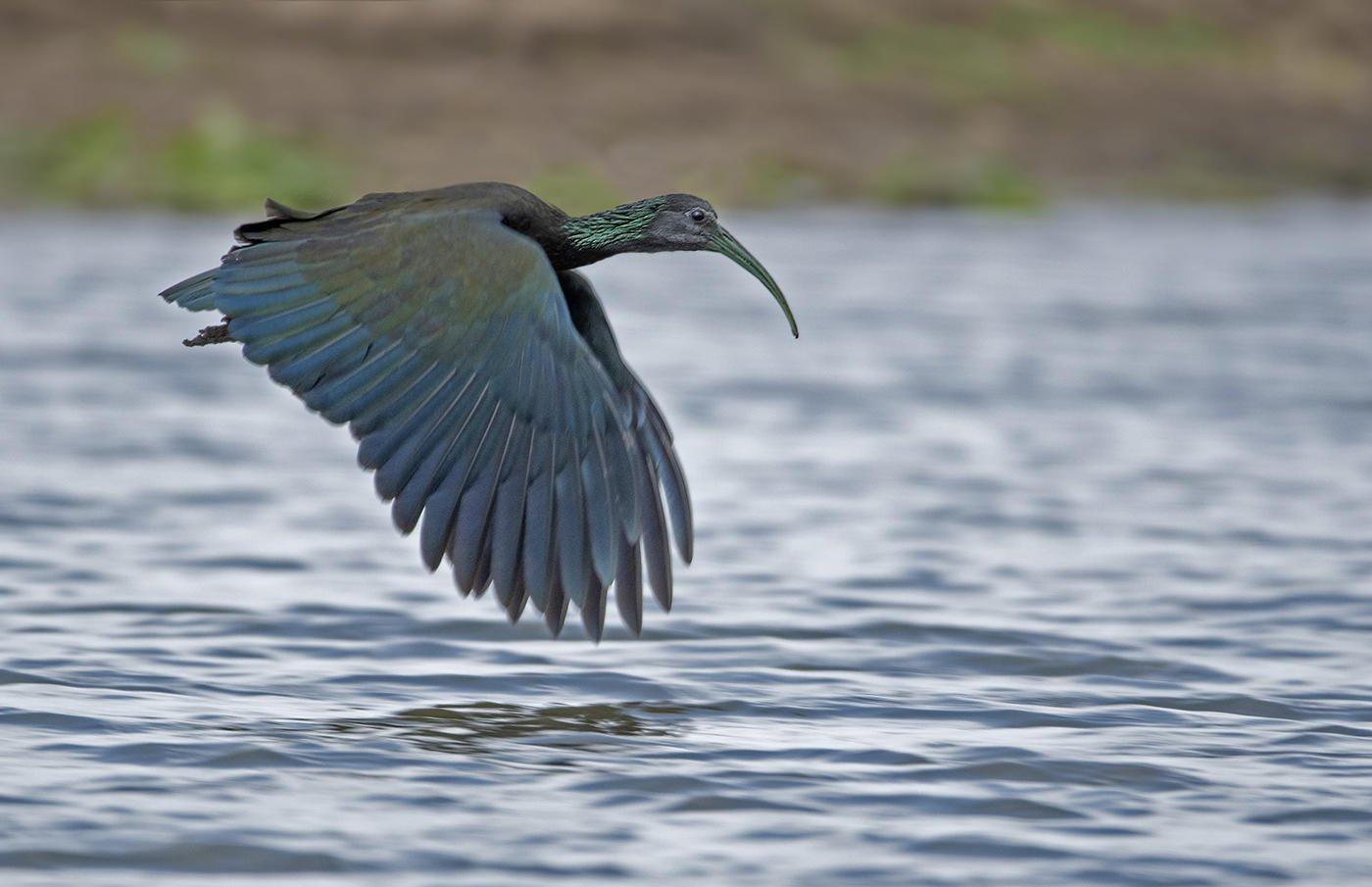 Ibis verde (Green Ibis) (Salvador Solé Soriano)