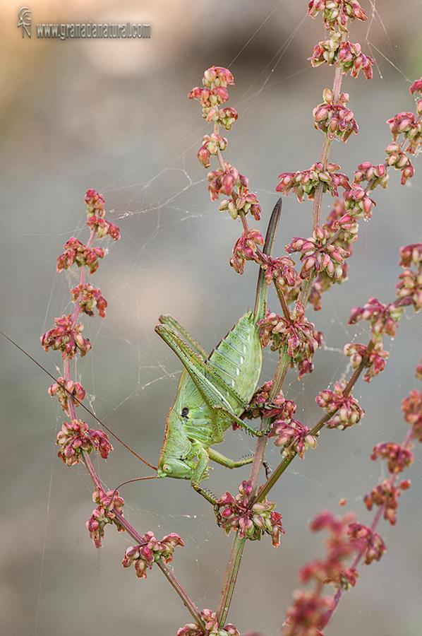 Insecto de la familia Tettigoniidae sobre Rumex (Parque nacional de Sierra Nevada) (Lucas Gutierrez Jiménez)