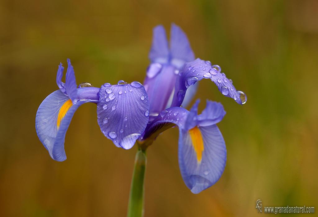 Iris xiphium (Lucas Gutierrez Jiménez)