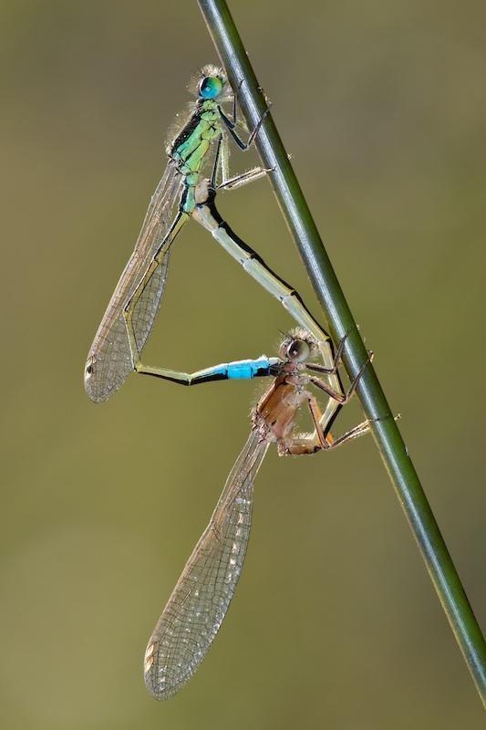 Ischnura elegans (Santiago MC.)