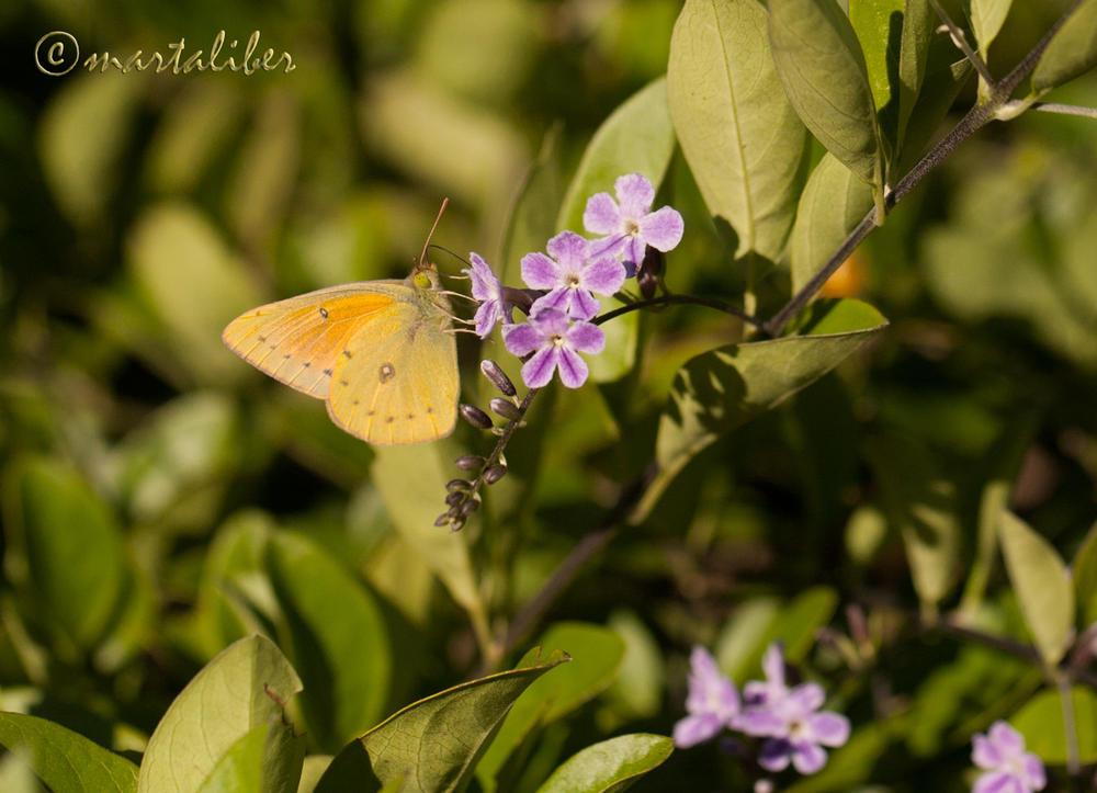 Isoca de Alfalfa (marta Liber)