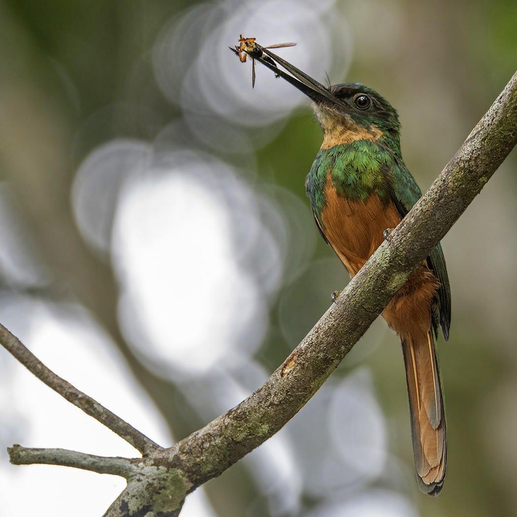 Jacamará colirrufo (Rufous-tailed Jacamar) (Salvador Solé Soriano)