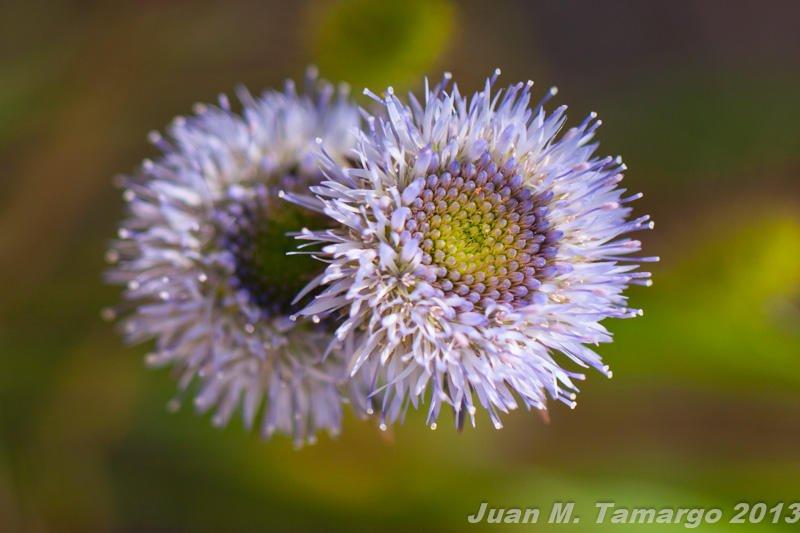 Jasione montana (Juan Manuel Tamargo Gutierrez)