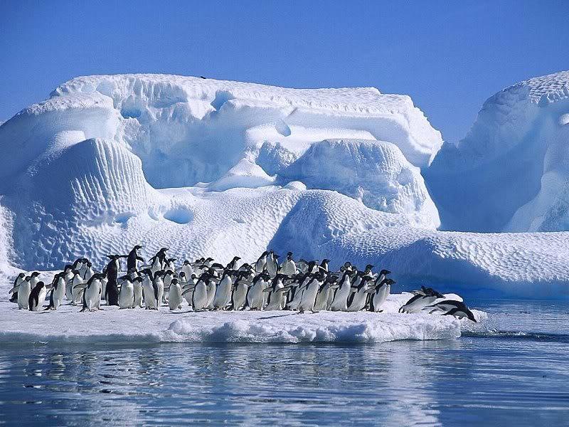 La hermosura de los pinguinos en el hielo.  (Carmello Castro)