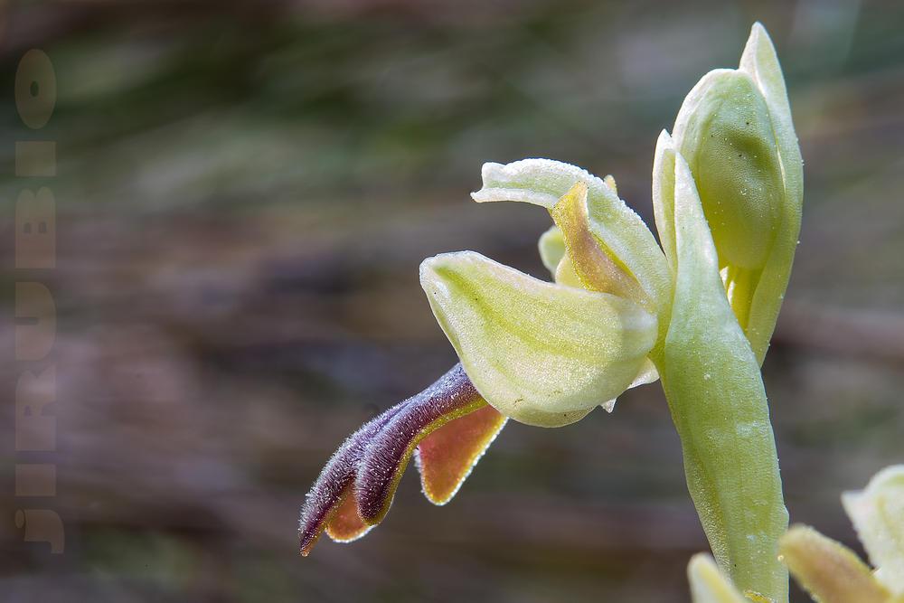La orquidea de mi barrio (2) (Jose Luis Rubio Perez)