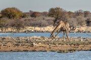 la reverencia de la jirafa