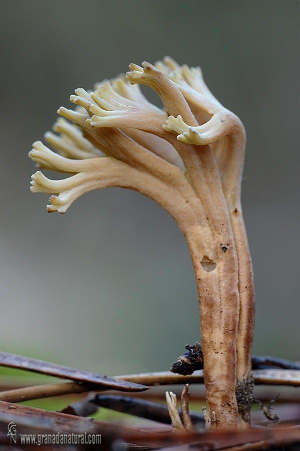 La seta coral ( Ramaria sp.)