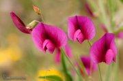 Lathyrus sp.