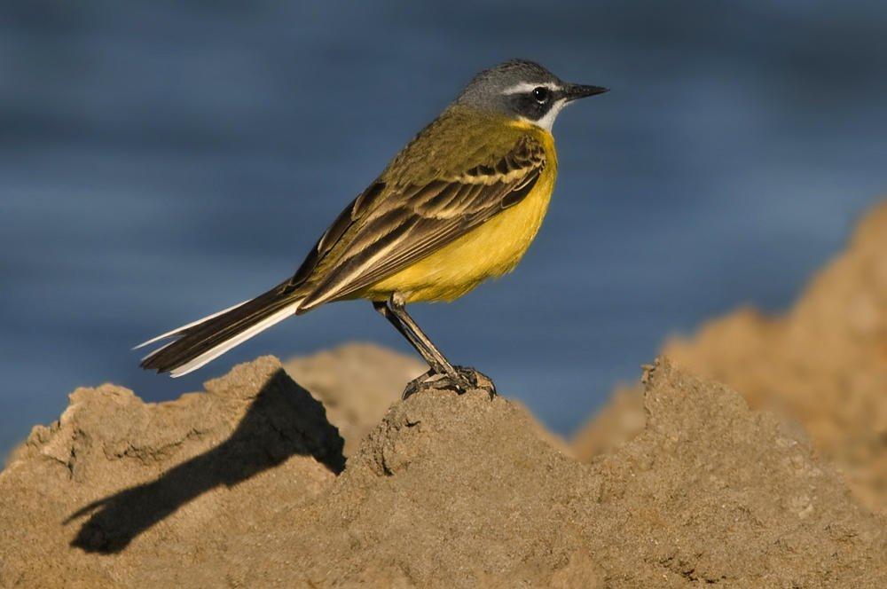 Lavandera boyera (Yellow Wagtail) (Salvador Solé Soriano)