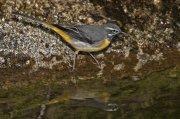 Lavandera cascadeña (Grey Wagtail)
