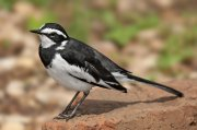 Lavandera pía africana (African Pied Wagtail)