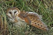 Lechuza común (Common Barn-owl)
