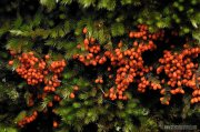 Leocarpus frágilis sobre musgo
