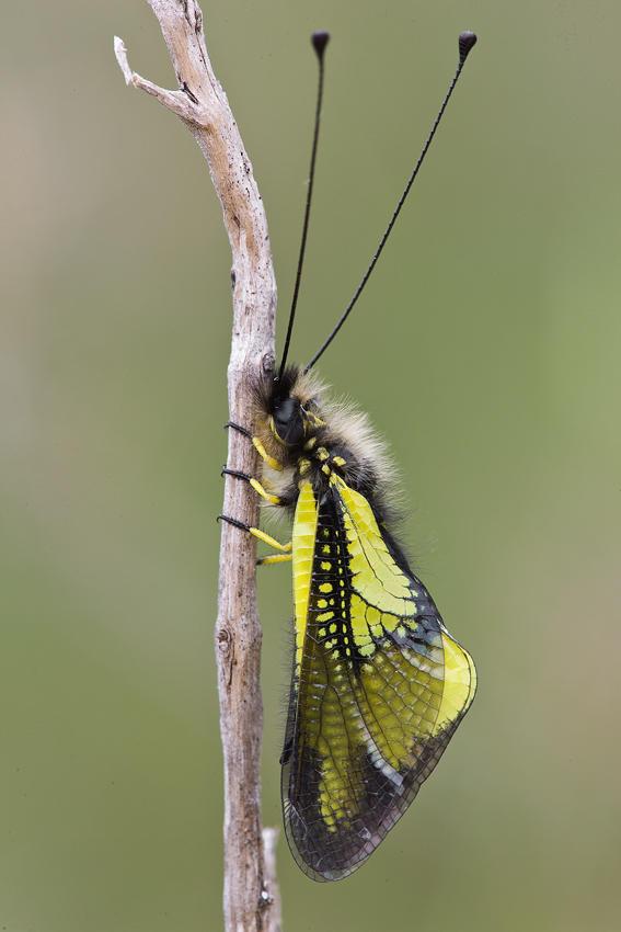 Libeloides (david Pérez Hens)