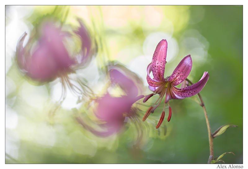 Lilium martagon ( marcolic) cada año acudo a fotografiar estas hermosas flores silvestres.  (Alex Alonso)