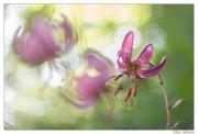Lilium martagon ( marcolic) cada año acudo a fotografiar estas hermosas flores silvestres.