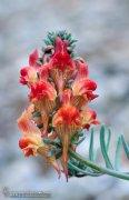 Linaria amoi ( Endemismo del parque natural de Almijara,Tejeda, Alhama)