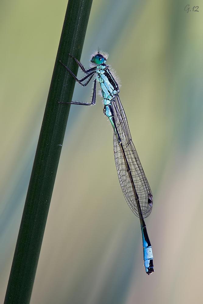 Macho elegans (Jose Alvarez gándara)