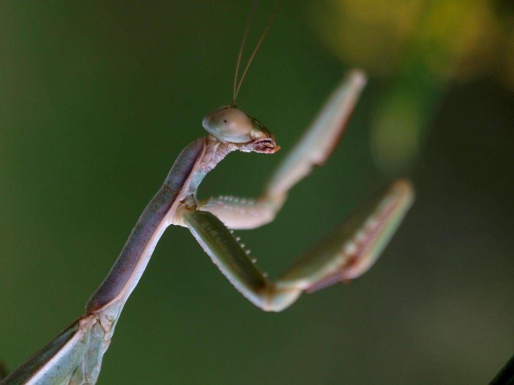 Mantis (Jesús Barreda Carbó)