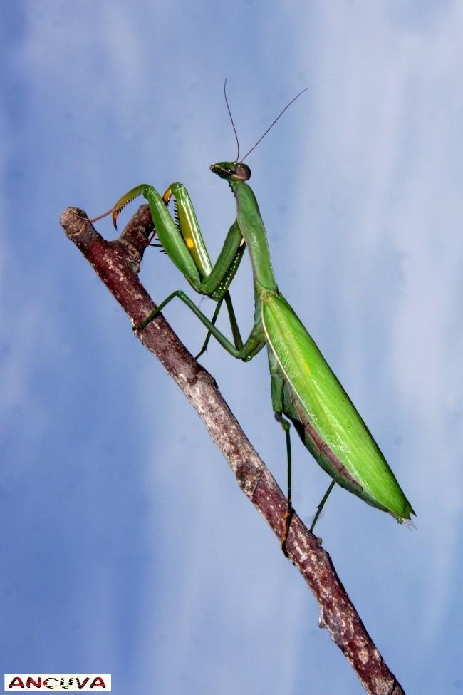 mantis en positivo. (Antonio Cuenca.   vaya)
