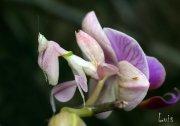 Mantis Orquídea (Hymenopus coronatus)