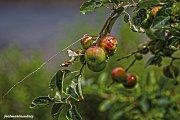 Manzanas isleñas