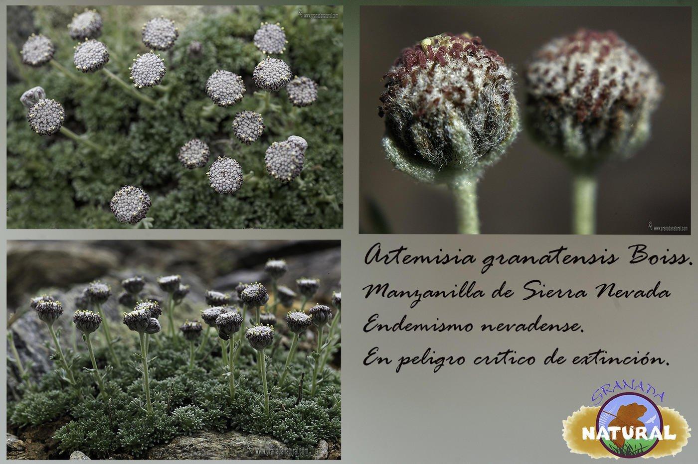 Manzanilla de sierra Nevada ( Artemisia granatensis Boiss.) (Lucas Gutierrez Jiménez)
