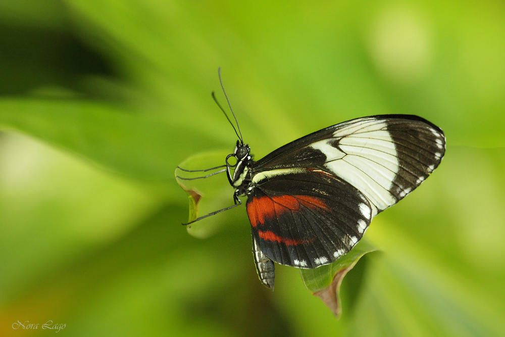 Mariposa   (Norma   Betty Lago)